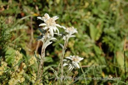 Edelweiss ou immortelle des Pyrénées