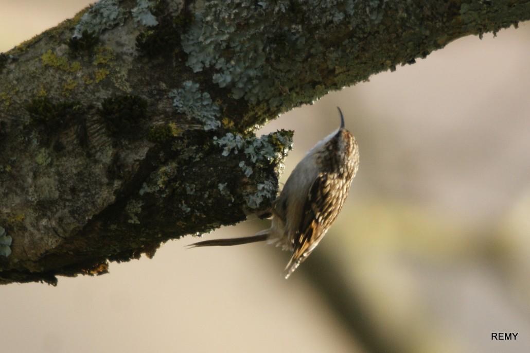 Grimpereau de bois