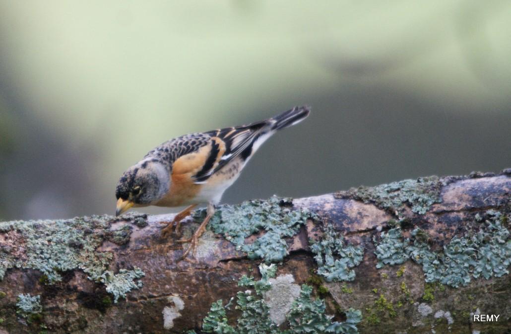 Pinson du Nord femelle (3)